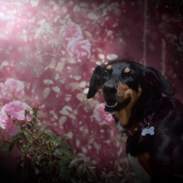 Bonnie dans les roses1